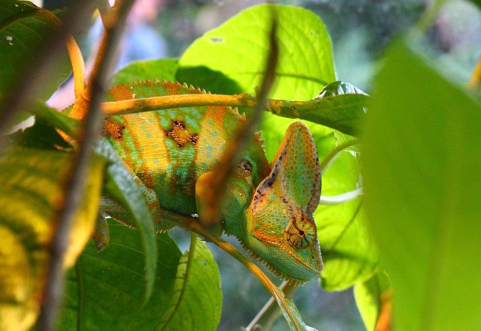 Chameleon, Animal, Natural, Wild, Zoo