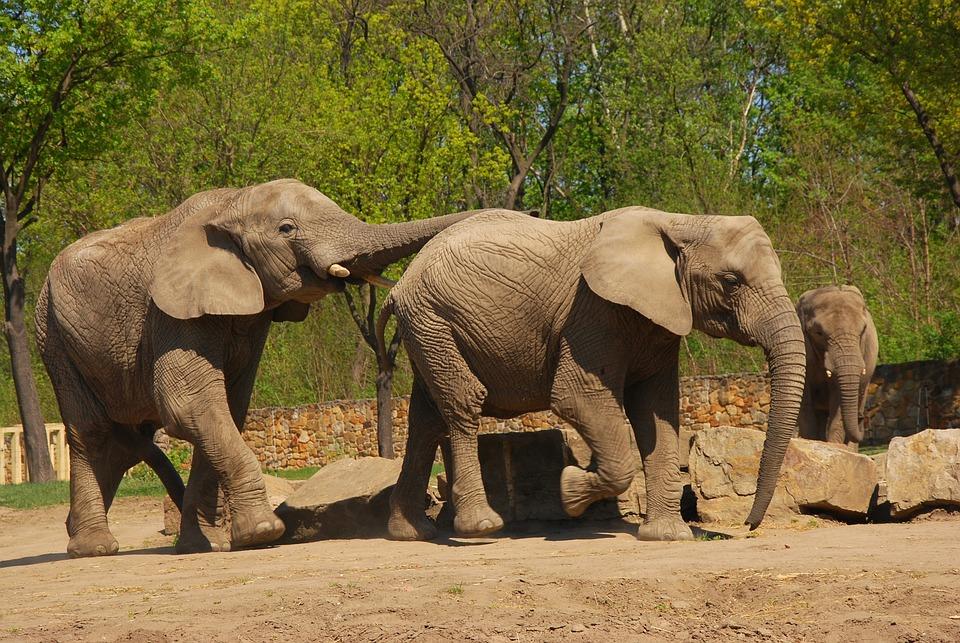 Elephant, Zoo, Animal