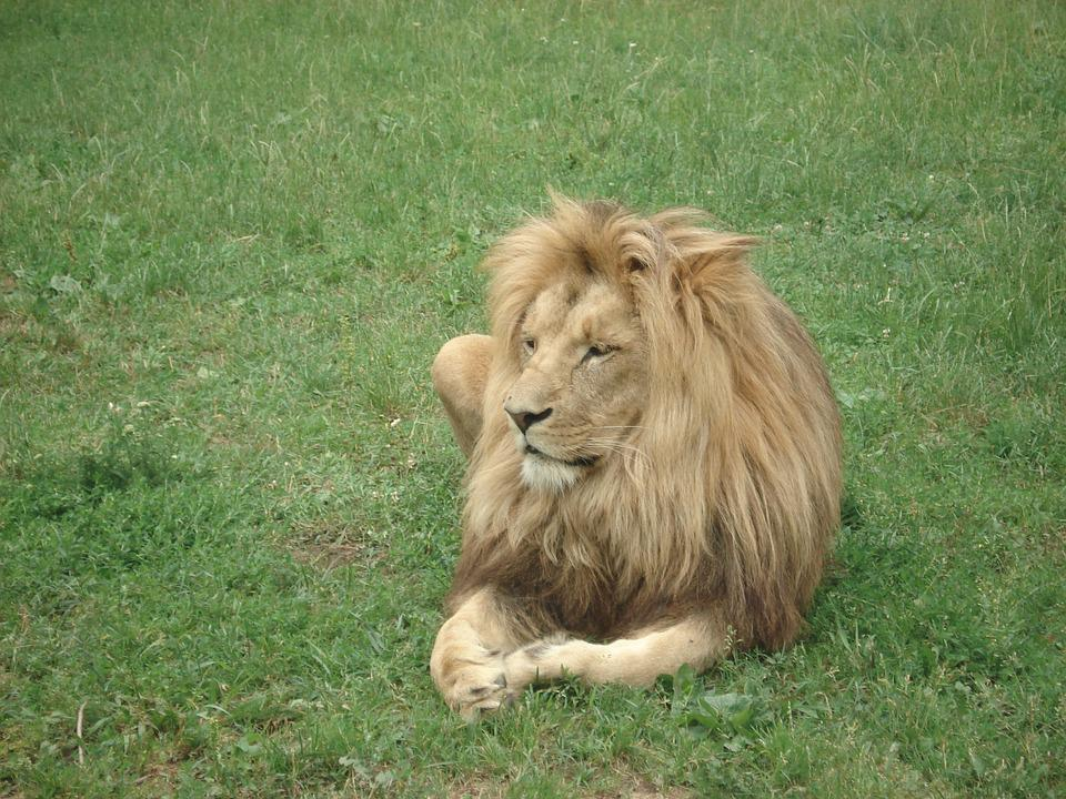 Lion, Zoo, Zoo Animals, Animal, Africa, Feline