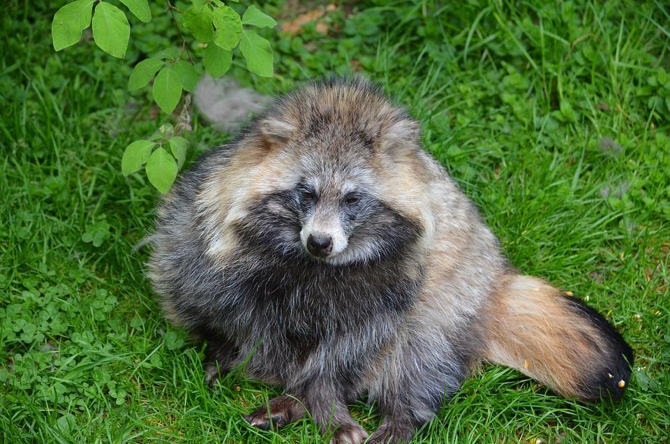 Raccoon, Animal, Furry, Zoo, Nature, Bear, Cheeky