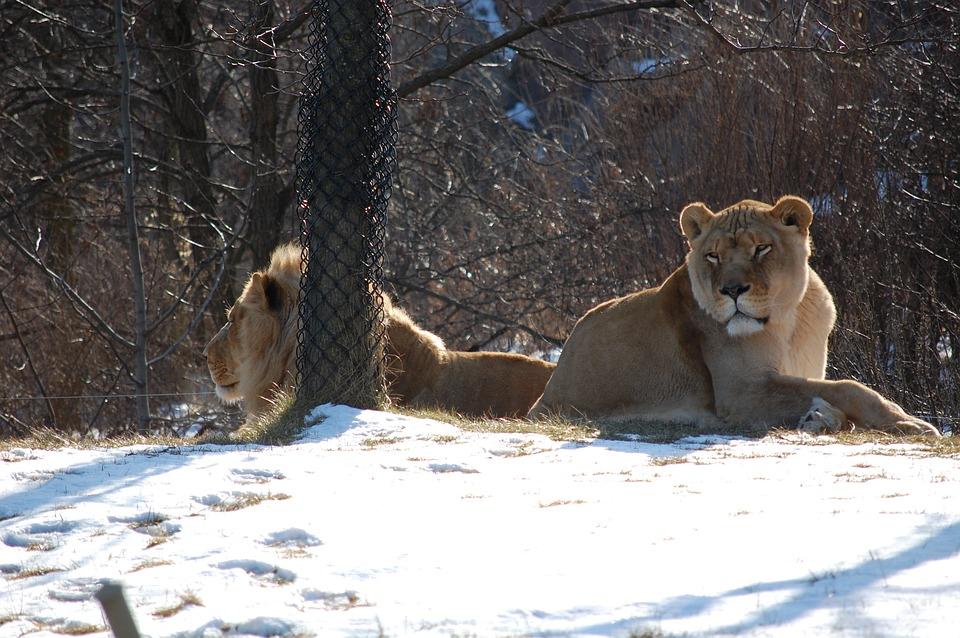 Lioness, Lion, Animal, Zoo, Cat, Wildlife, Wild, Female