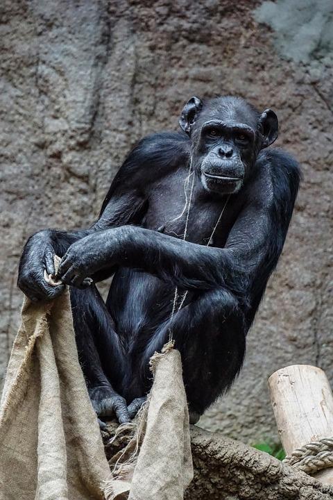 Chimpanzee, Monkey, Mammal, Primate, Zoo, Animal
