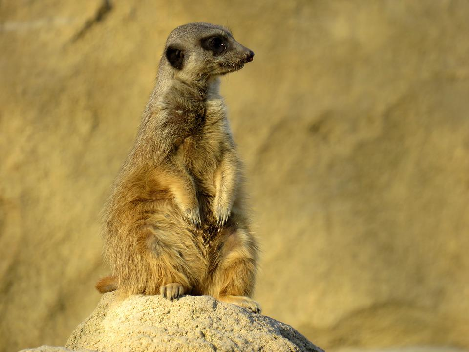 Meerkat, Nature, Animal, Cute, Zoo, Fur, Sweet, Mammal