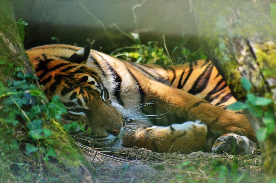 Tiger, Asia, Zoo, Felines, Animal Portrait, Wild, Tawny