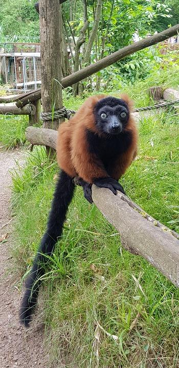 Red Vari, Animal, Zoo, Lemur, Mammal, Vari