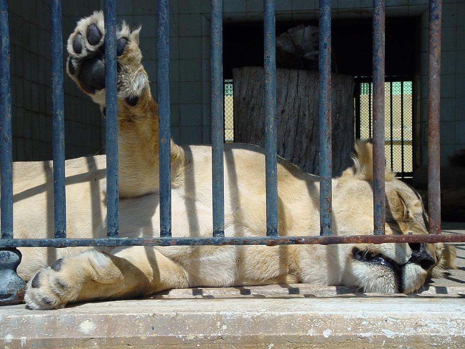 Lions, Sleepy Lion, Zoo, Animal, Wildlife, Wild
