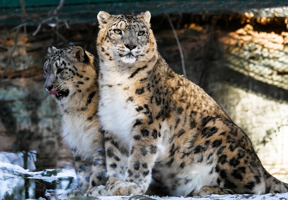 Leopard, Snow Leopards, Animal, Cat, Zoo, Cohesion