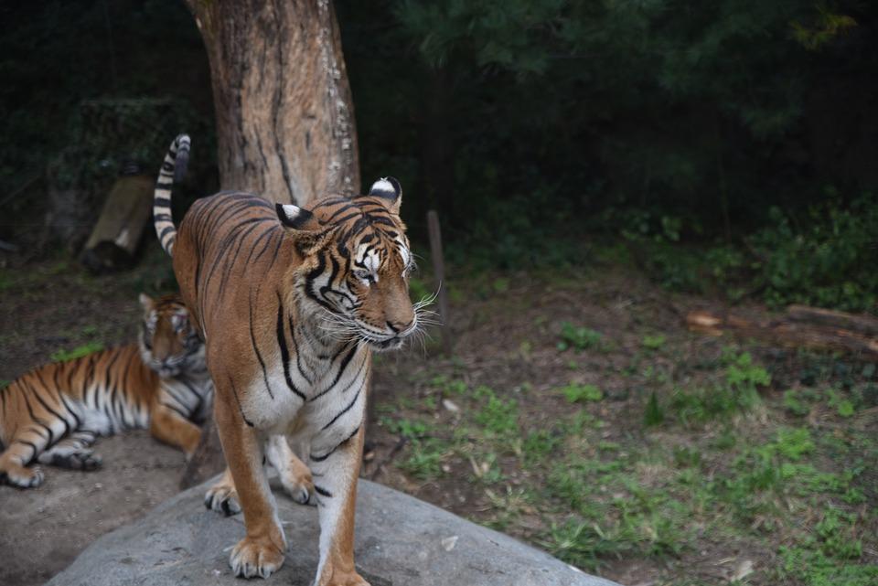 Tiger, Animal, Zoo, Mammal, Big Cat, Wild Animal