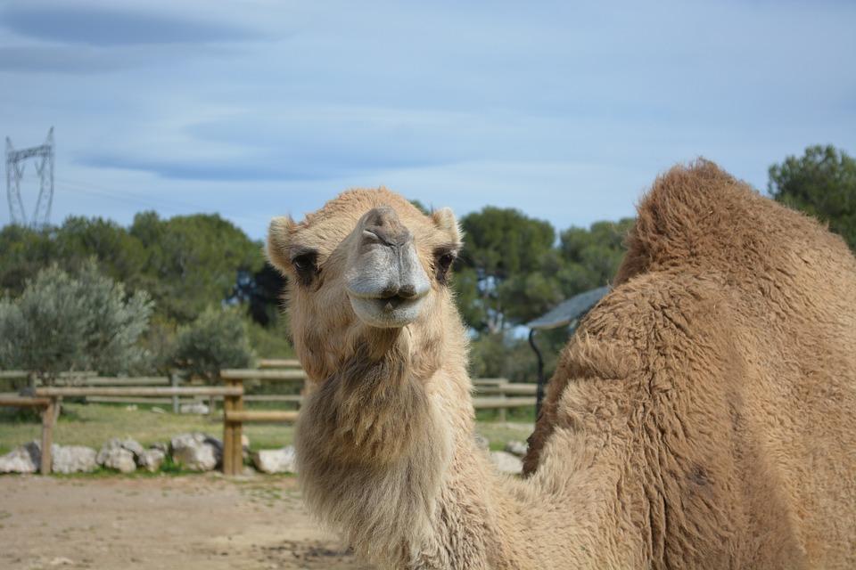 Camel, Animals, Zoo, Head