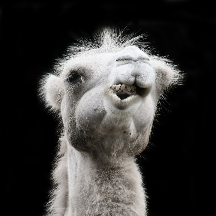 Camel, Chew, Foot, Zoo, Eat, Animals, Close, Head