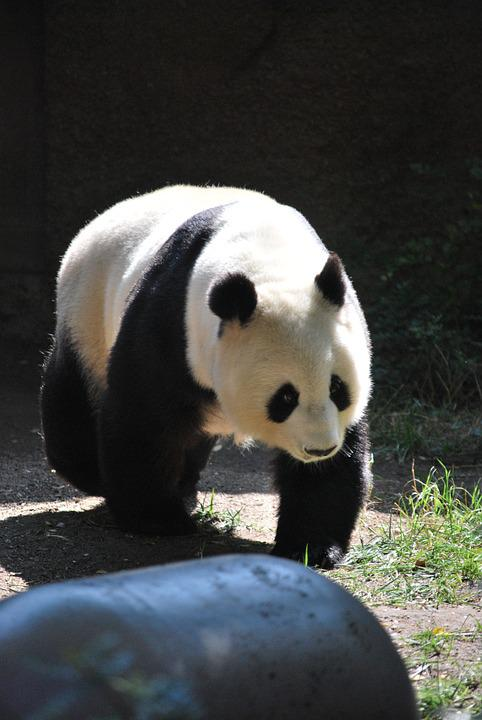 Panda, Zoo, Nature, Zoo Animals, Wild, Bear, Forest