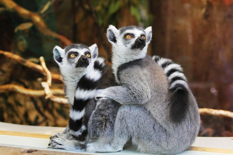 Lemurs, Animals, Zoo, Ring-tailed Lemurs, Lemuridae