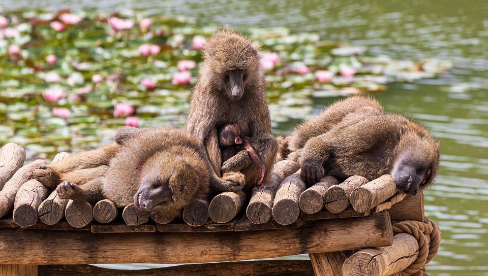 Baboon, Ape, Primates, Zoo