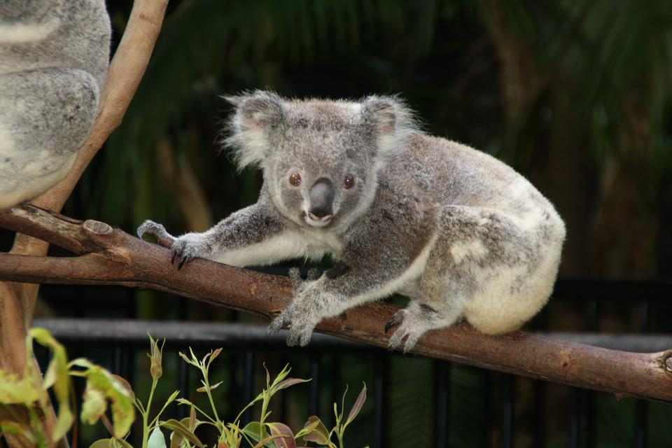Australia, Koala, Zoo, Animals