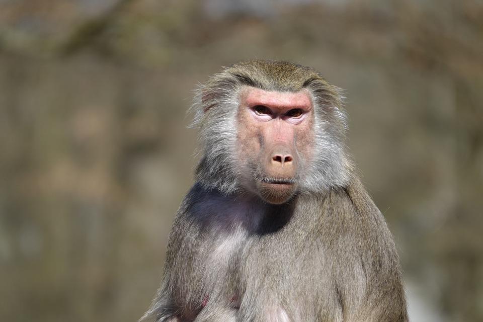 Monkey, Zoo, Hellabrunn, Munich, Baboon, Portrait