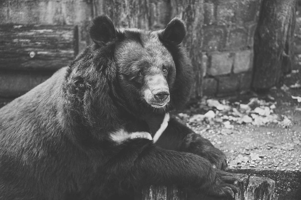 Bear, Captivity, Black And White, Fence, Zoo