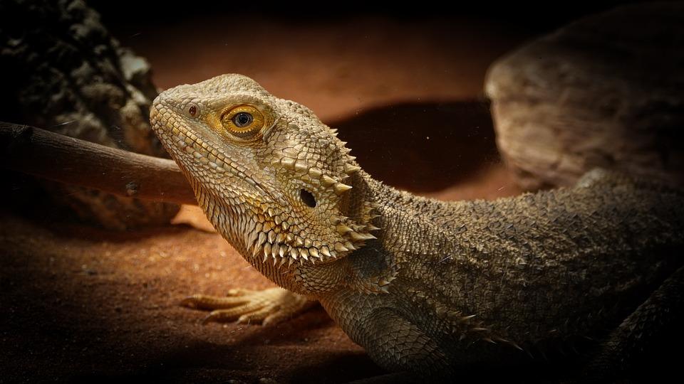 Zoo, Lizard, Bearded Dragon