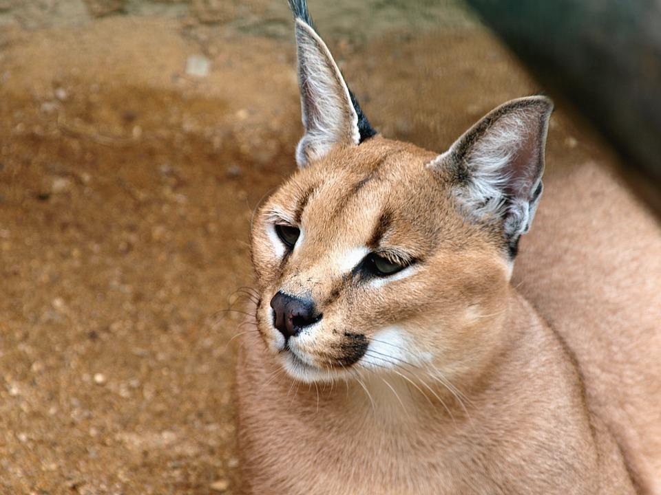 Beast, Zoo, Pussy