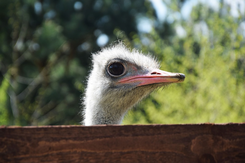 Ostrich, Animals, Beak, Eye, Bird, Zoo, The Head Of The