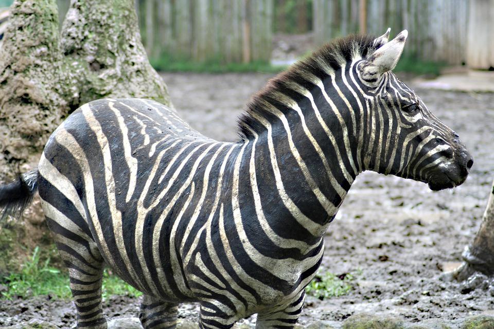 Zebra, Run, Black White, Zoo