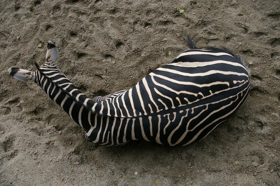 Zebra, Zoo, Budapest