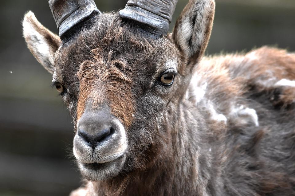Capricorn, Goat, Goats, Zoo, Capra