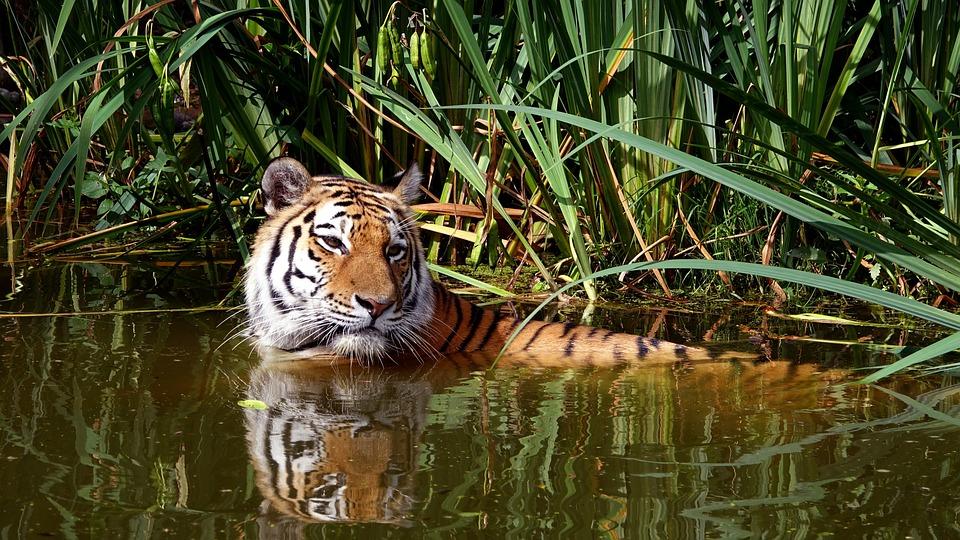 Tiger, Cat, Zoo