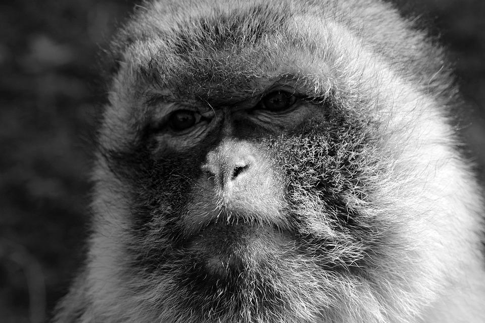 Monkey, Sad, Zoo, Animal, Primate, Imprisoned, Creature