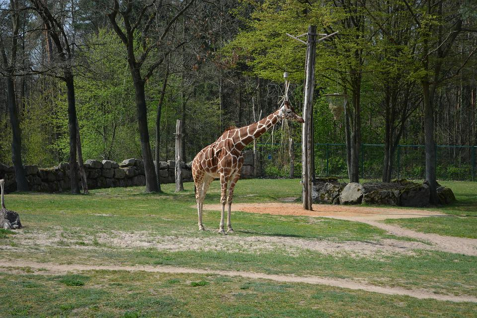 Giraffe, Zoo, Tiergarten, Animal, Creature, Nature