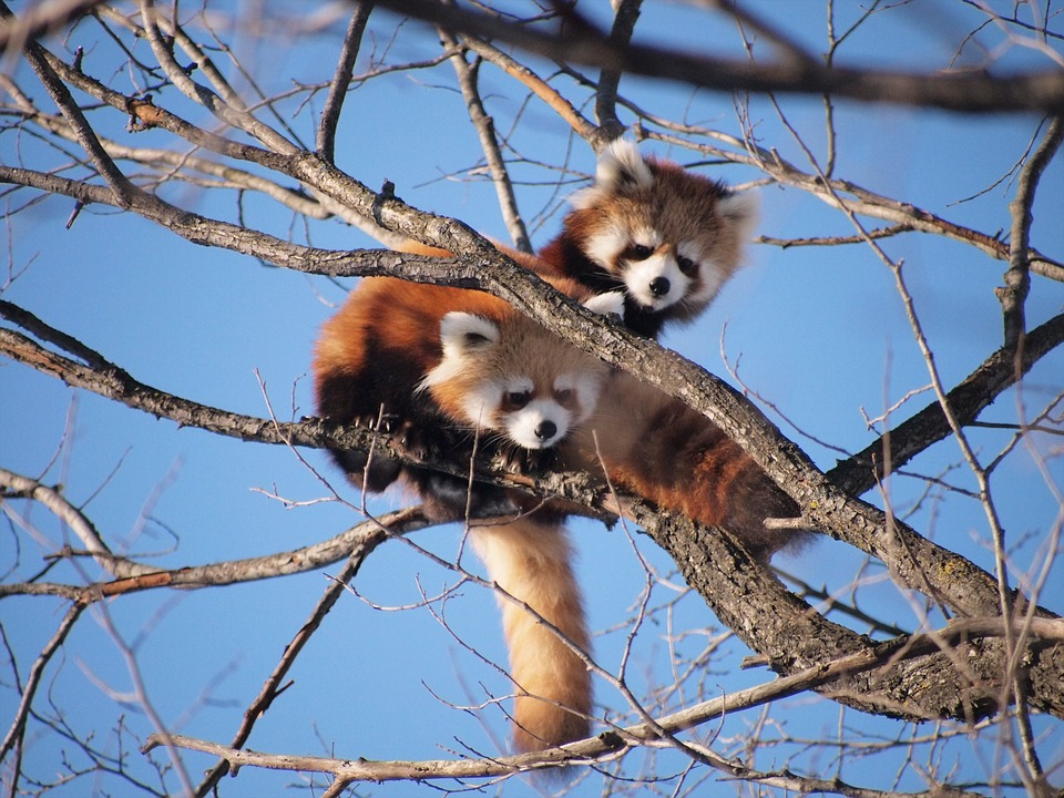 Red Panda, Zoo, Cute, Cute Animals, Tree Climbing
