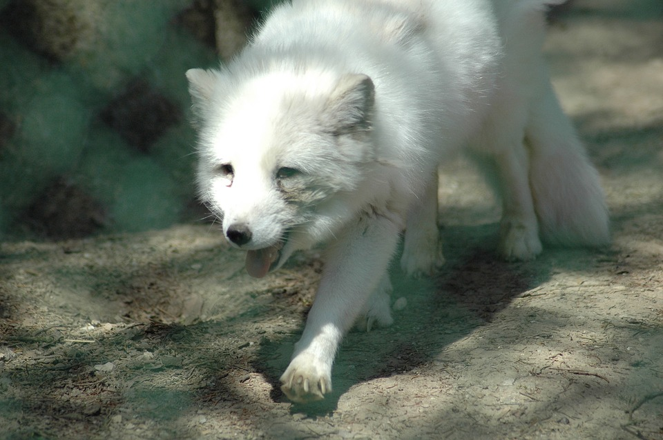 Zoo De Servion, Renard Arctique, Blanc