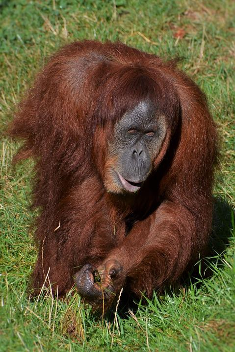 Orang Utan, Monkey, Zoo, Mammal, Zoo Dortmund