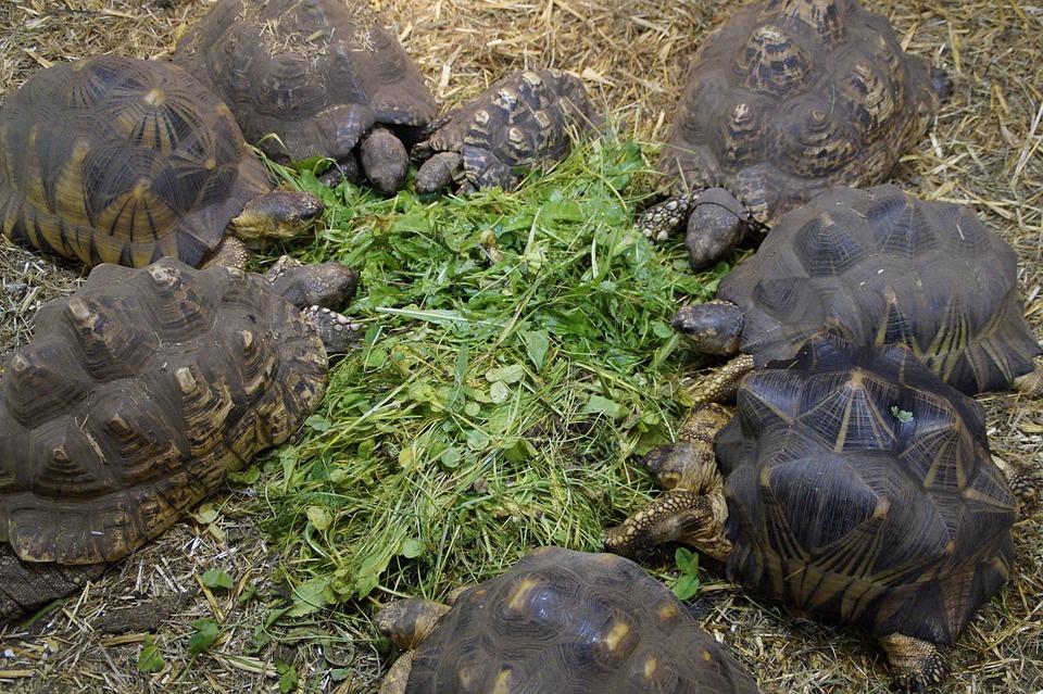 Turtles, Land Turtles, Reptile, Animals, Zoo, Eat