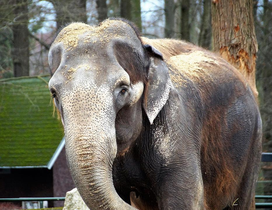Elephant, Indian, Zoo, Trunk, The Zoological Garden