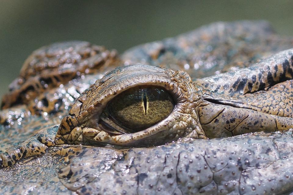 Eye, Crocodile, Reptile, Zoo, Wildlife