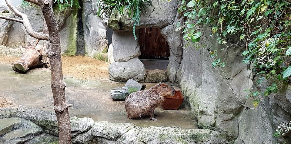 Capybara, Zoo, Familienzoo, Zoo-animals, Nature, Animal