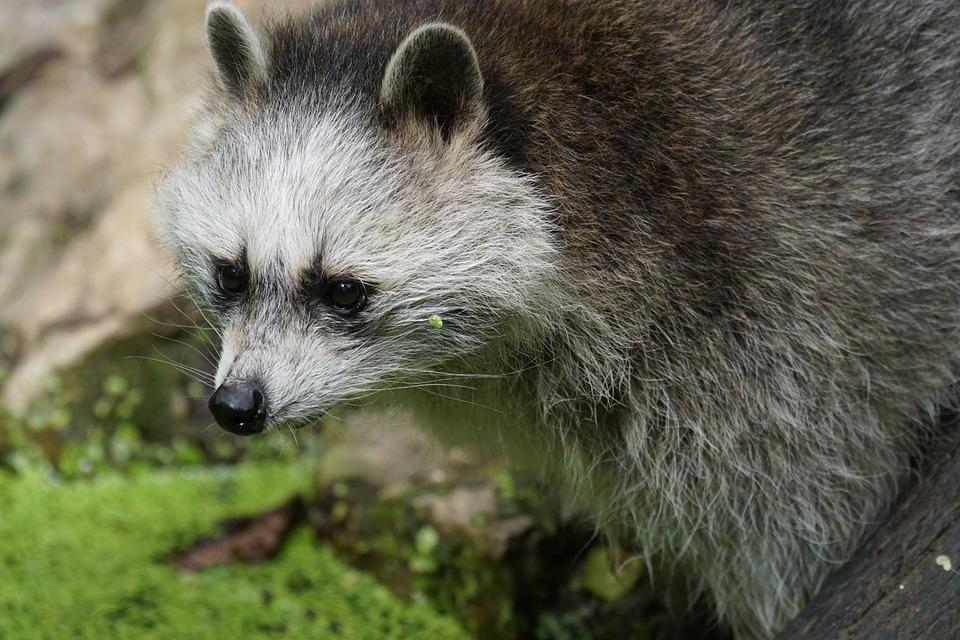 Raccoon, Foraging, Zoo