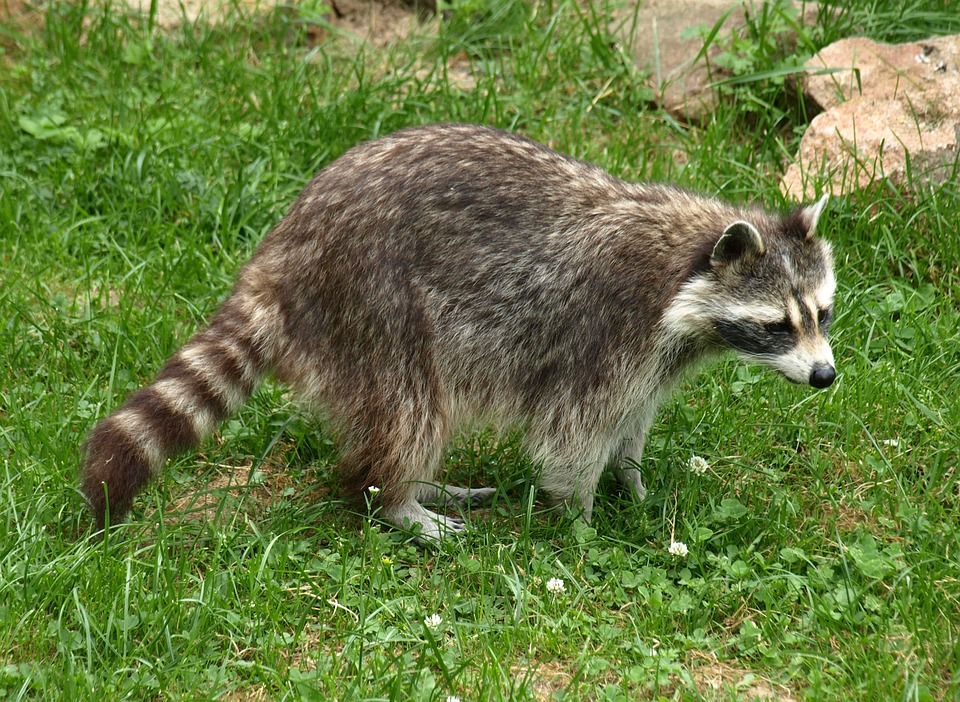 Raccoon, Animal, Fur, Furry, Animal World, Zoo, Cute