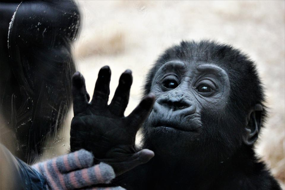Animal, Monkey, Zoo, Hands, Touch