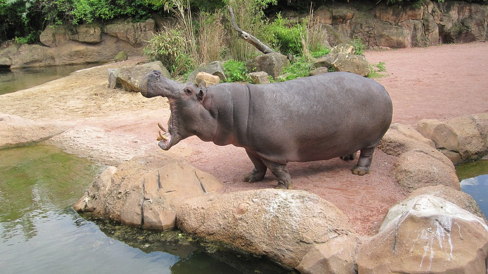 Zoo Hannover, Adventure Zoo, Hippo, Lower Saxony