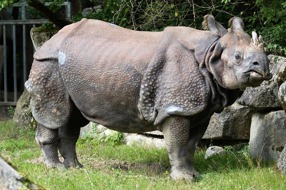 Rhino, Indian Rhinoceros, Animal, Rhinoceros, Zoo
