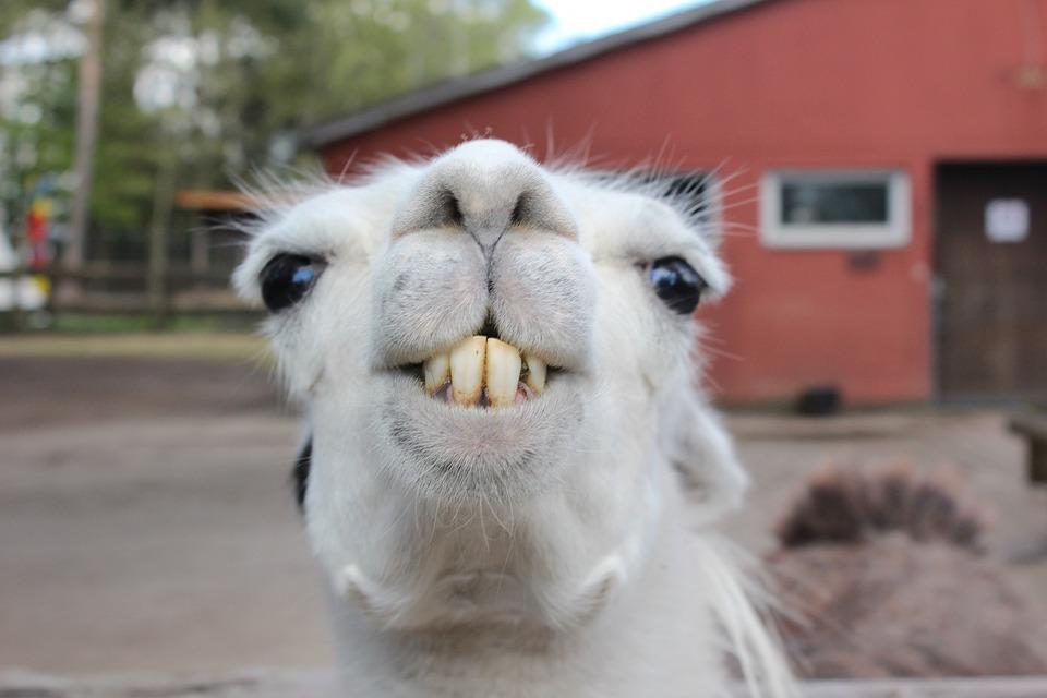 Lama, Animal, Head, Peru, Zoo, Joe Bodemann