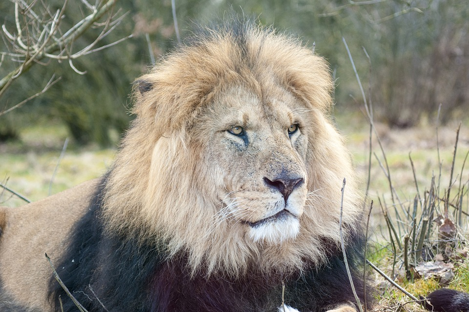 Lion, Zoo, Male Lion, Expensive