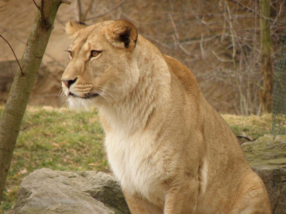 Lioness, Zoo, Portrait, Beast, Head