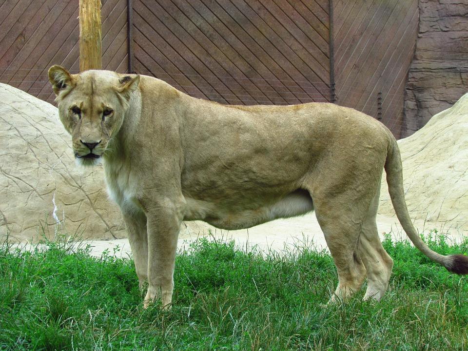 Lioness, Cat, Wild, Wildlife, Predator, Carnivore, Zoo