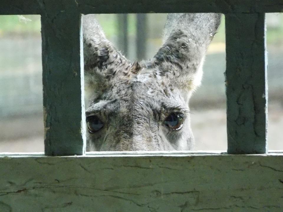 Red Kangaroo, Zoo, Looking