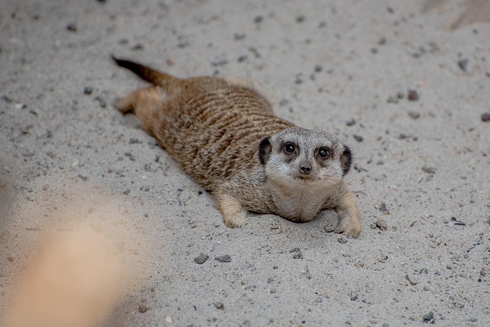 Meerkat, Zoo, Luxembourg, Animal, Prairie Dog, Lazy