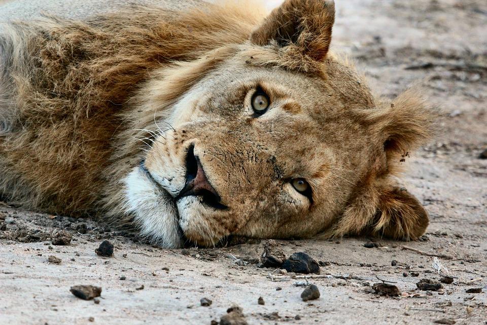 Africa, Animal, Close-up, Lion, Macro, Zoo