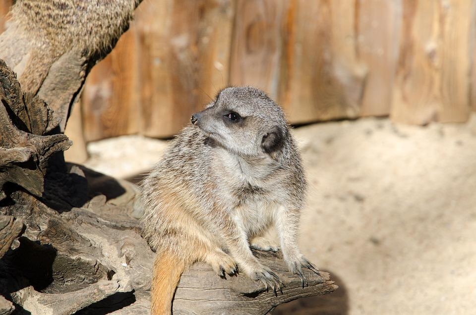 Meerkat, Zoo, Animal, Nature, Mammal, Fur, Tiergarten
