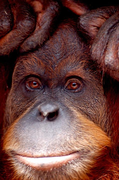 Orang Utan, Monkey, Zoo, Melbourne, Animal, Portrait